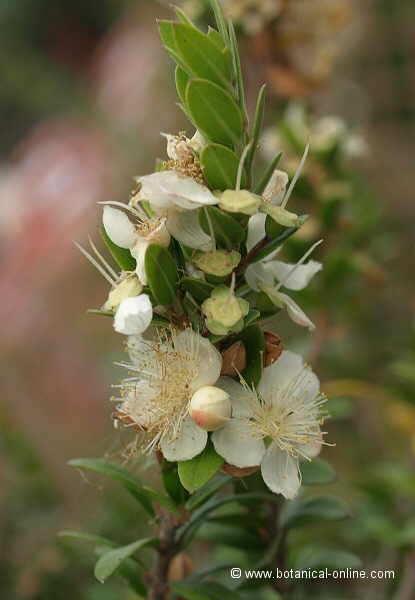 Flor Murta / Murter / Murtrera, Myrtus communis