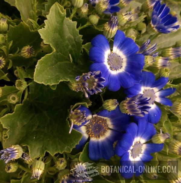 Flower Cineraria / Florist's cineraria / Common ragwort, Cineraria hybrida / Senecio cruentus