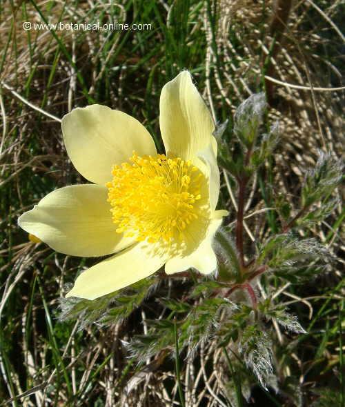 Flor Herba del vent, Pulsatilla alpina/Anemone alpina