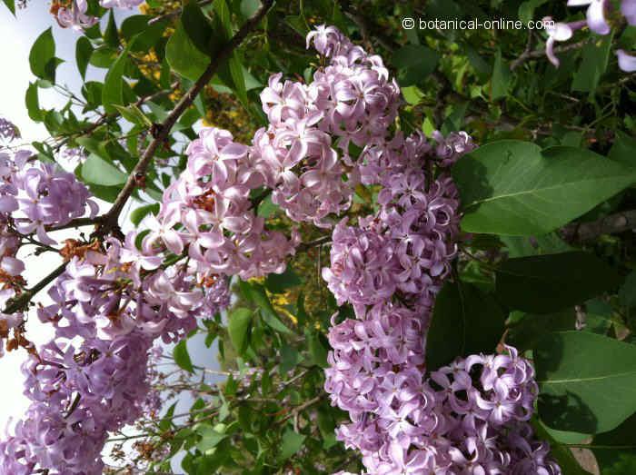 Flor Lilà, Syringa vulgaris