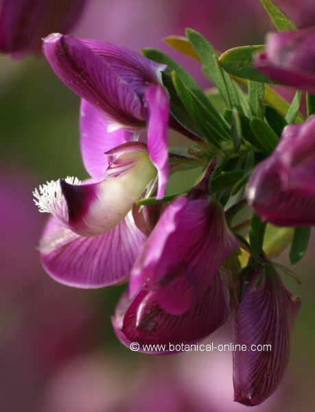 Flor Polígala de fulles de murtra, Polygala myrtifolia