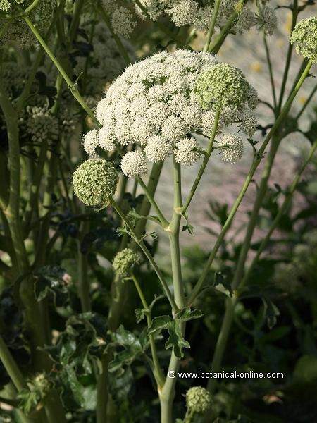 Flor Basilisc, Magydaris pastinacea
