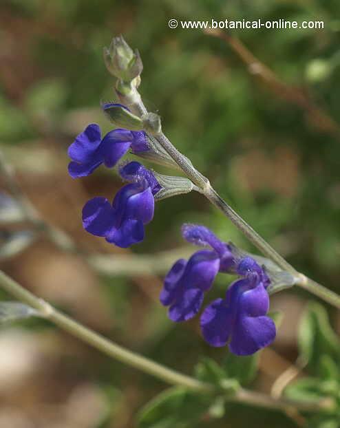 Flor Genciana de color porpra, Salvia chamaedryoides