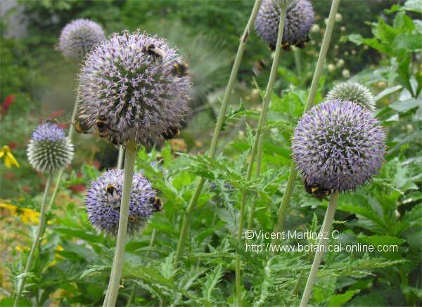 Flor ---, Echinops exaltatus