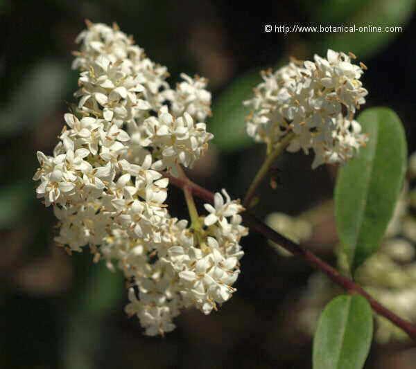 Flor Olivereta, Ligustrum vulgare
