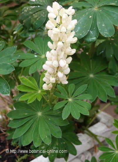 Flor Llobí, Lupinus x hybridus