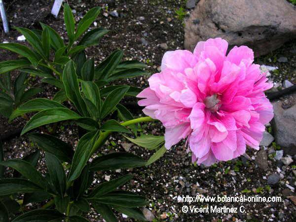 Flor Peònia , Paeonia officinalis