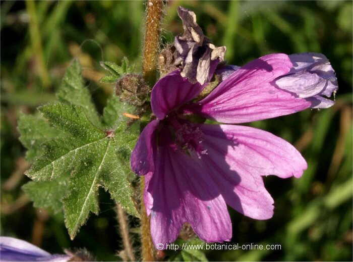 foto de flor de malva