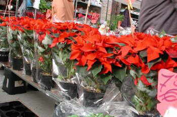 Flor de pascua estrella de navidad - Que cuidados necesita la flor de pascua ...