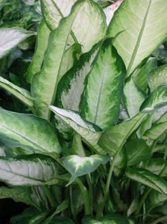 Photo of dieffenbachia