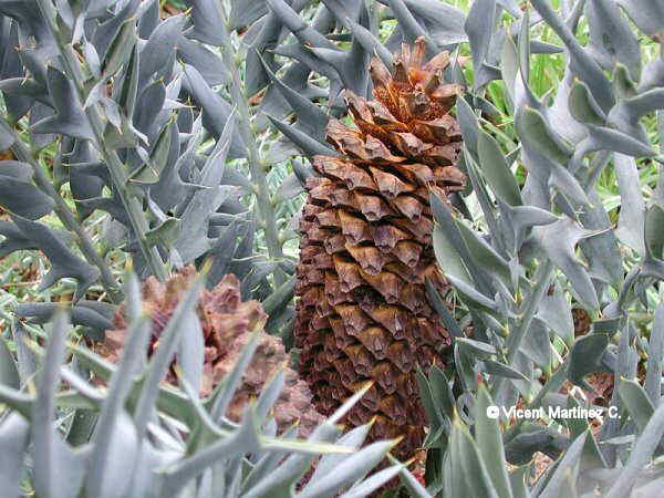 EASTERN CAPE BLUE CYCAD