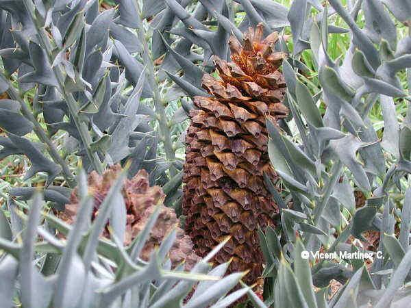 Cultivo de Encephalartos horridus