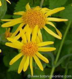 flores arnica