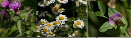 flora dolomitas
