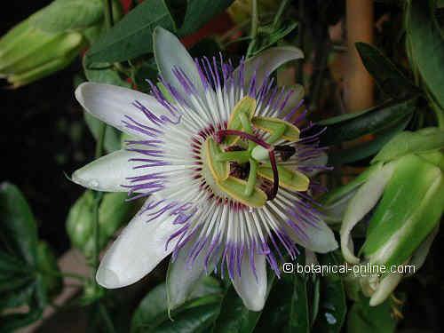 Flor pasionaria