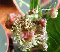 FLOWER OF CROTON
