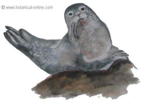 dibujo de foca