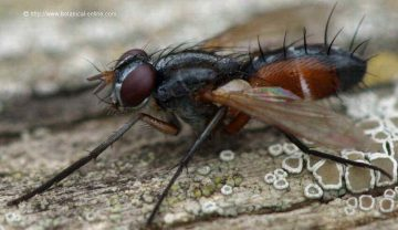 Taquínido (Cylindromyia spp.)