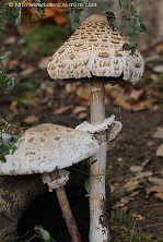 Fotos de hongos for Como cocinar setas parasoles