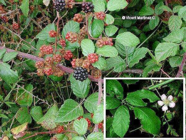 Flor Esbarzer, Rubus ulmifolius