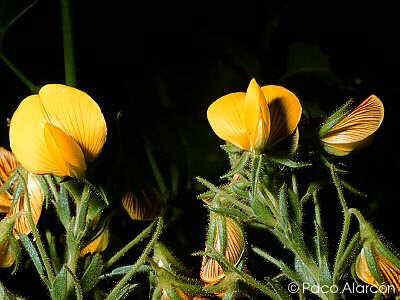 Flor Gavó, Ononis natrix L.
