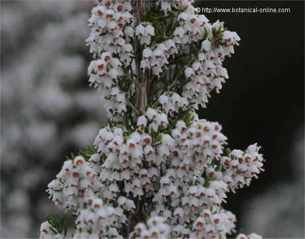 Flor Bruc boal, Erica arborea