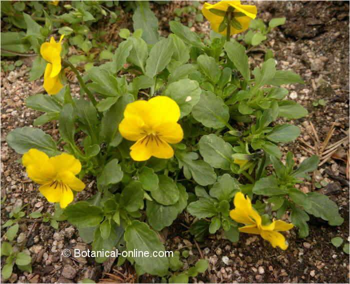 Flor Pensament, Viola x wittrockiana