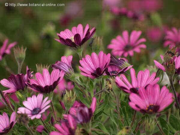 Flor ---, Dimorphotheca ecklonis