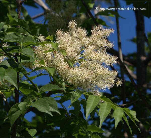 Flor Freixe d'olor, Fraxinus ornus