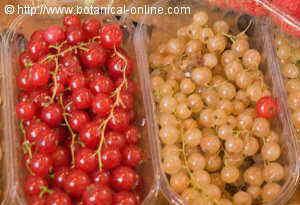 Grosellas rojas y blancas para la cistitis