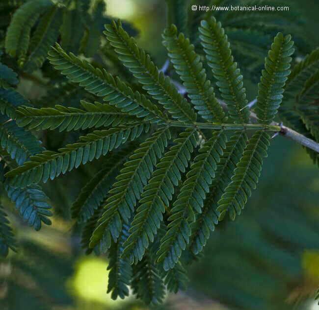 Foto de hojas de acacia