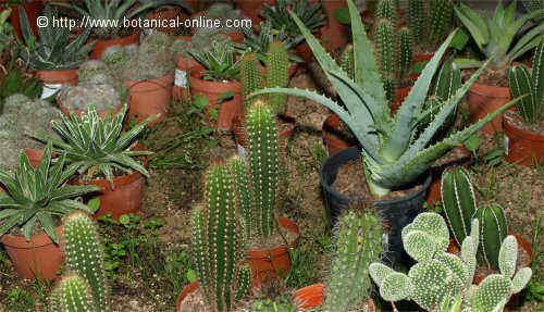 El cultivo de las suculentas - Cactus cuidados interior ...
