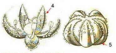 flor y fruto de quinoa