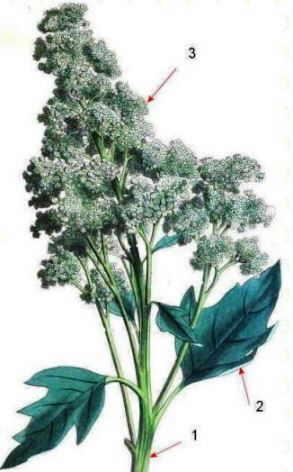 ilustracion chenopodium quinoa