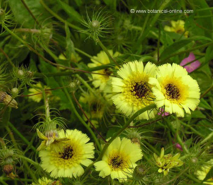 Flor ---, Tolpis barbata