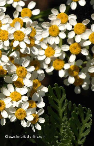 Flor Margarida enganxosa, Tanacetum ferulaceum