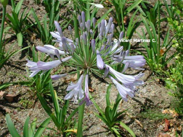 Flor Agapant, Agapanthus africanus