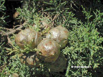 Detalle de hojas y frutos de Curpressus
