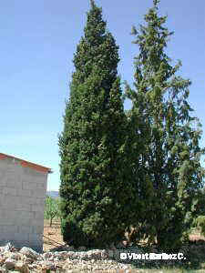 Photo of cypress tree