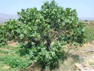 Ficus carica, general aspect