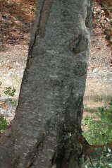 Ceratonia siliqua- tronco