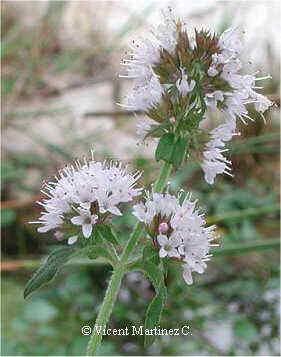 Mentha aquatica, detalle de las flores