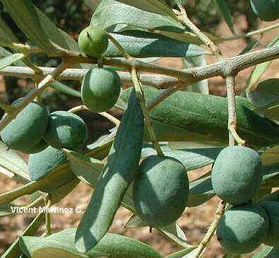 Olea europaea, frutos y hojas