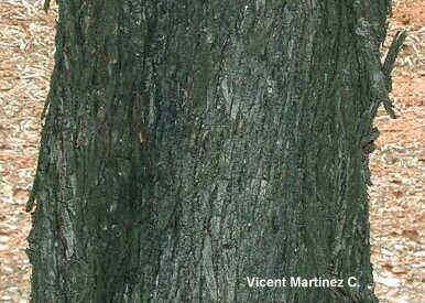 Olea europaea, detalle del tronco