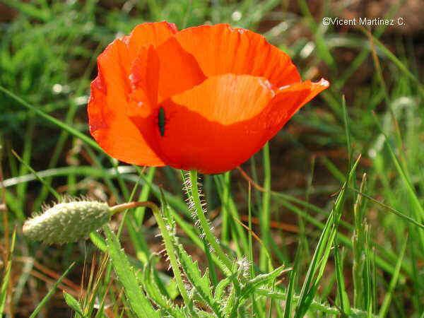 Flor Rosella, Papaver rhoeas