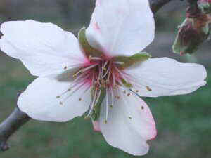 flower almond tree