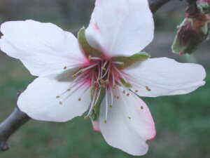 almendro flor