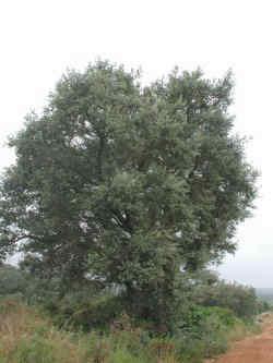 Carrasca, aspecto del árbol