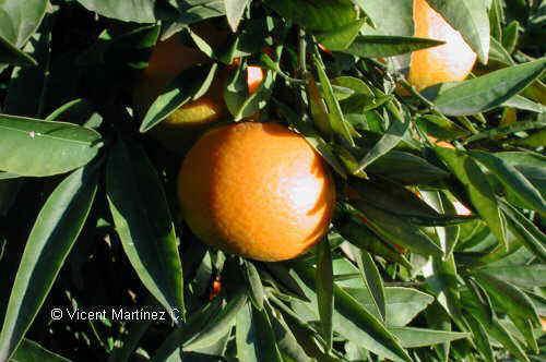 Citrus sinensis árbol