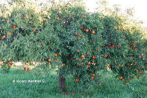 Orange tree with oranges